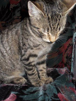 Oglądasz obrazki z tematu: Szara koteczka znaleziona na Dziesięcinach