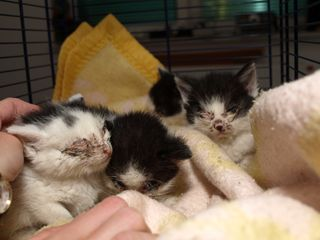 Oglądasz obrazki z tematu: Cztery kotki porzucone na osiedlu Białostoczek trafiły do DT kotkowa