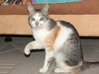 Oglądasz obrazki z tematu: Koteczka tricolor - znaleziona na os. Sybiraków
