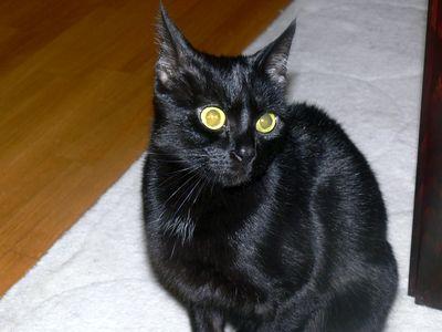 Oglądasz obrazki z tematu: Czarna kotka zaginęła w ok. ul. Palmowej