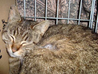 Oglądasz obrazki z tematu: Burą, pręgowaną kotkę znaleziono w ok. ul. Stołecznej