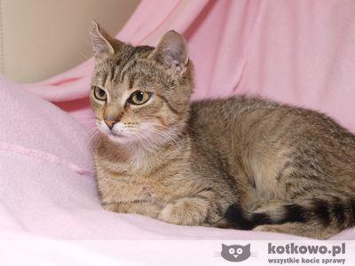 Oglądasz obrazki z tematu: Koteczka tygrysek  ul. Palmowej - odnaleziona