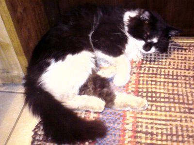 Oglądasz obrazki z tematu: Długowłosy czarno-biały kot zaginął na os. Dojlidy