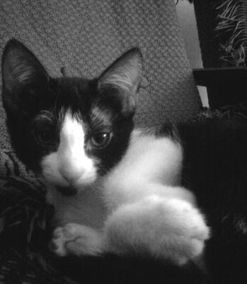 Oglądasz obrazki z tematu: Czarno-biały, młody kotek zaginął na os. Jaroszówka