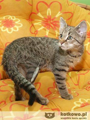 Oglądasz obrazki z tematu: Szary kotek z uszkodzoną łapką wrócił do domu