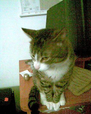 Oglądasz obrazki z tematu: Szaro-brązowy kot zaginął w ok. ul. Wierzbowej