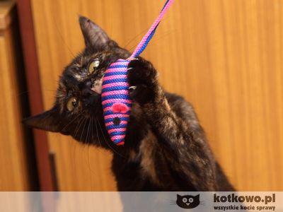 Oglądasz obrazki z tematu: Kotka szylkretka - znaleziona w ok. ul. Nowogródzkiej