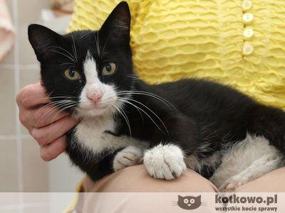 Oglądasz obrazki z tematu: Młoda kotka 'pingwinek' znaleziona w ok. ul. Warszawskiej 75