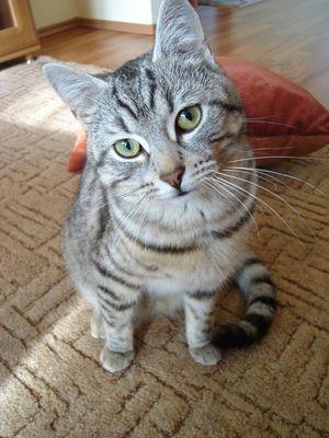 Oglądasz obrazki z tematu: Szary kot z ul. Piastowskiej odnaleziony