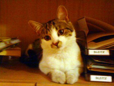 Oglądasz obrazki z tematu: Biało-bury kot zaginął przy ul. Wspólnej