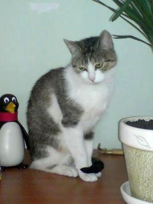 Oglądasz obrazki z tematu: Szaro-biała kotka z ul. Zwierzynieckiej - odnaleziona
