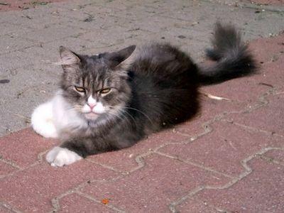 Oglądasz obrazki z tematu: Długowłosy kot przybłąkał się w ok. ul. Palmowej