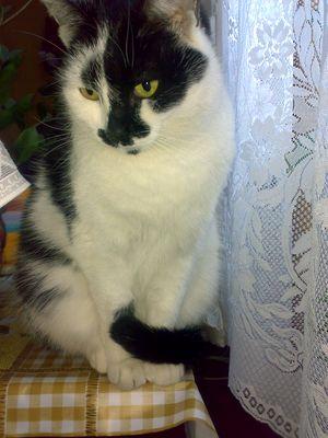 Oglądasz obrazki z tematu: Biało-czarna kotka zaginęła przy ul. Pracowniczej