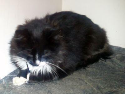 Oglądasz obrazki z tematu: Czarny długowłosy kot znaleziony przy ul. Sokólskiej
