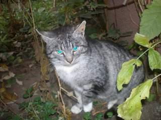 Oglądasz obrazki z tematu: Szary kotek zaginął przy ul. Miłosza