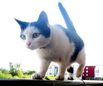 Oglądasz obrazki z tematu: Biało-czarna kotka zaginęła na os. TBS