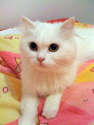 Oglądasz obrazki z tematu: Biała kotka zaginęła przy ul. Pietkiewicza