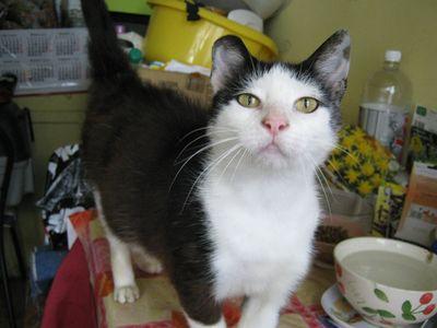 Oglądasz obrazki z tematu: Czarno biała kotka znaleziona na ul. Mieszka I