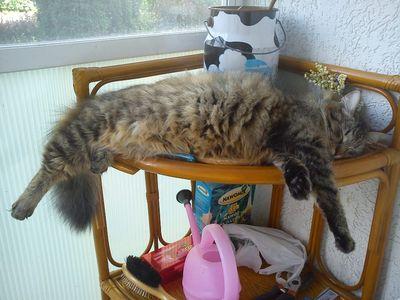 Oglądasz obrazki z tematu: Puchata, szara kotka zaginęła w okol.ul.Szerokiej