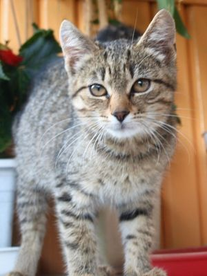 Oglądasz obrazki z tematu: Szara koteczka znaleziona na ul. Rumiankowej