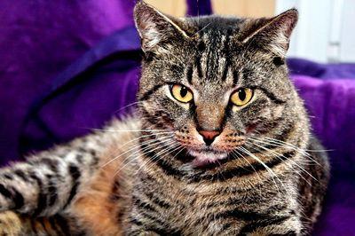 Oglądasz obrazki z tematu: Szary kot  tygrysek znaleziony na ul.Upalnej