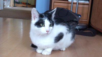 Oglądasz obrazki z tematu: Biało czarny kotek zaginął na ul. Świętojańskiej
