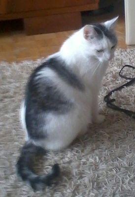 Oglądasz obrazki z tematu: Biało szary kot zaginął na Wysokim Stoczku
