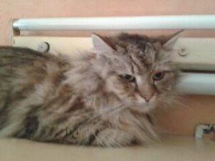 Oglądasz obrazki z tematu: Szara długowłosa kotka znaleziona na Dziesięcinach