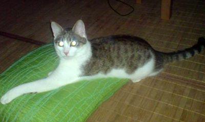 Oglądasz obrazki z tematu: Biało szara koteczka z ul. Warszawskiej odeszła