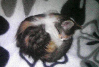 Oglądasz obrazki z tematu: Trzykolorowa mała koteczka z  Szarych Szeregów odnaleziona