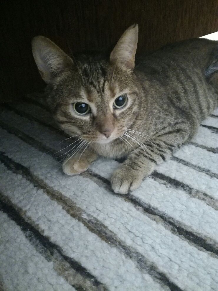 Oglądasz obrazki z tematu: Szaro-brązowa kotka znaleziona na os. Dziesięciny