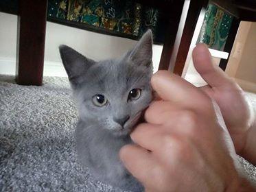 Oglądasz obrazki z tematu: Niebieski kociak znaleziony w Księżynie
