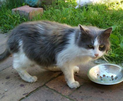 Oglądasz obrazki z tematu: Biało niebieski długowłosy kot przybłąkał się w Ogrodniczkach