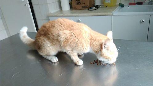 Oglądasz obrazki z tematu: Rudo biały kot znaleziony na Pułaskiego