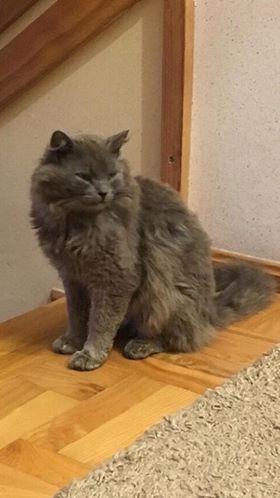 Oglądasz obrazki z tematu: Szary puchaty kot zaginął na Dojlidach