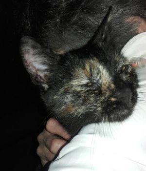 Oglądasz obrazki z tematu: Kotka czarno ruda znaleziona na Nowowarszawskiej
