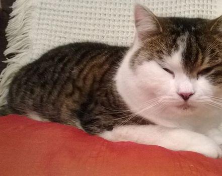 Oglądasz obrazki z tematu: Szaro biała kotka zaginęła w okol. Kozłowej