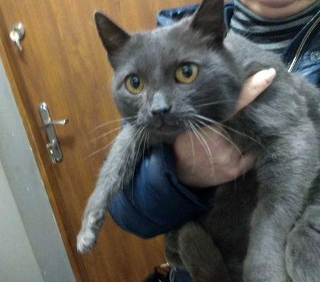 Oglądasz obrazki z tematu: Szaroniebieska kotka (w typie rasy rosyjski niebieski) znaleziona na Bema.