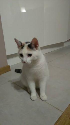 Oglądasz obrazki z tematu: Kotka biała w łatki z ul. Boboli wróciła do domu