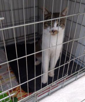 Oglądasz obrazki z tematu: Szaro biały kot znaleziony w Dobrzyniewie