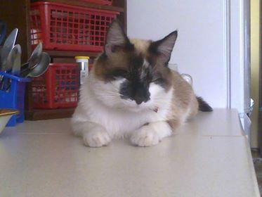 Oglądasz obrazki z tematu: Kot podobny do syjama zaginął w Gródku