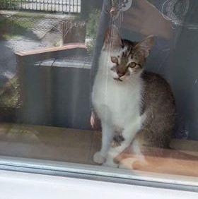 Oglądasz obrazki z tematu: Biało szara kotka zaginęła na Jaroszówce