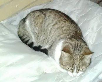 Oglądasz obrazki z tematu: Szaro biała kotka zaginęła w Kątach