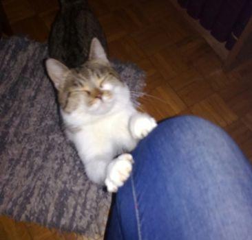 Oglądasz obrazki z tematu: Biało szary kotek znaleziony na os. Dziesięciny