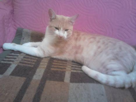 Oglądasz obrazki z tematu: Piaskowo-karmelowy kot zaginął na os. Skorupy