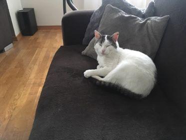 Oglądasz obrazki z tematu: Biało szary kot zaginął na os.Wygoda