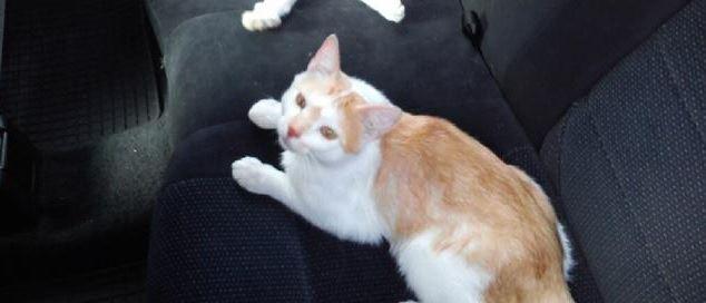 Oglądasz obrazki z tematu: Biało rudy kot zaginął na os. Wygoda