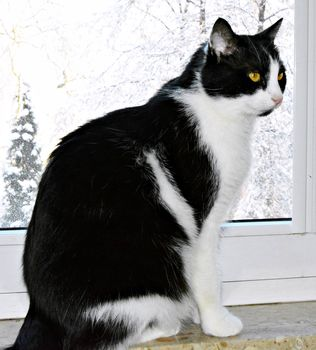 Oglądasz obrazki z tematu: Biało czarny kot zaginął na ul. Kraszewskiego