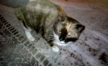 Oglądasz obrazki z tematu: Kotka czarno rudo biała błąka się po Wołodyjowskiego