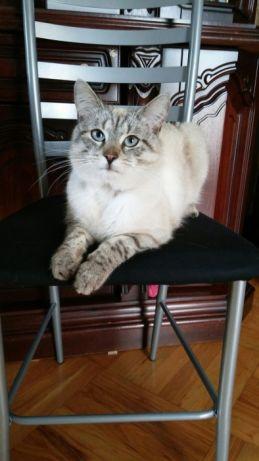 Oglądasz obrazki z tematu: Beżowy kot z niebieskimi oczami zaginął na Jaroszówce